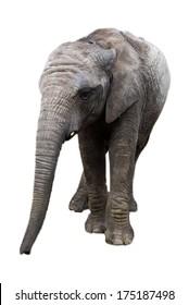 Baby Elephant Facing Forwards Isolated on White Background