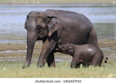 Baby elephant feeding, Minneriya National Park