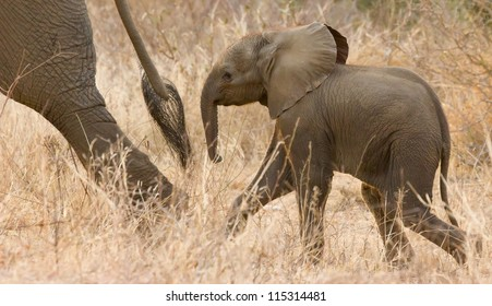 Baby Elephant following the Tail
