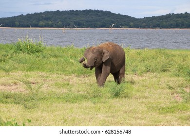A baby elephant grabbing some grass with its trunk, at Kaudulla National Park, Sri Lanka