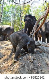 Baby Elephant In Herd Of Asia