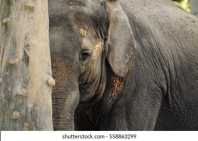 Baby elephant hiding behind a trunk