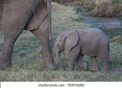 Baby elephant in Masai Mara, Kenya, Africa