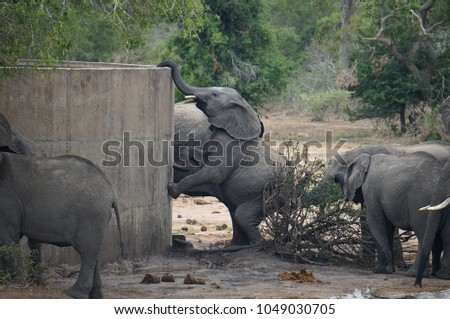 Baby Elephant on Hind Legs at Watering Hole at Kruger National Park in South Africa