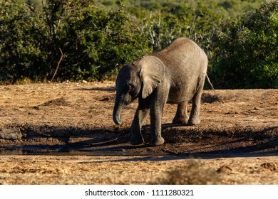 Baby elephant reaching down to drink some water at the watering hole