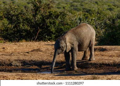 Baby elephant reaching down and drinking some water at the watering hole