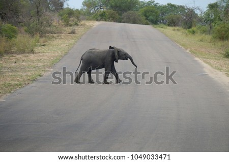 Baby Elephant in road at Kruger National Park in South Africa
