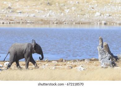 Baby elephant in the savannah of the Etosha national park in Namibia.