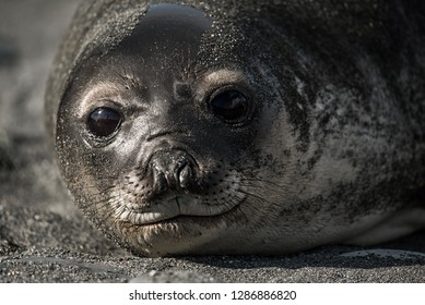 Baby Elephant Seal - Also called Wiener in South Georgia