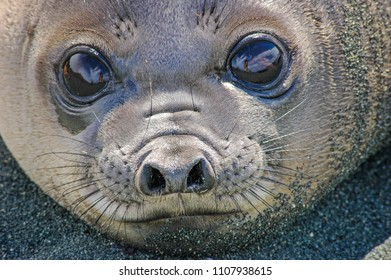 """Baby elephant seal on the shingle beach at Macquarie Island, Australia. They are called """"weaners"""", a pun, because they look like fat sausages, and their mothers will simply abandon them when weaned"""