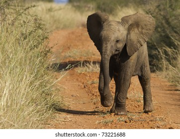 Baby elephant showing some bravado