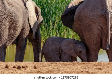 Baby Elephant standing between the others at the watering hole