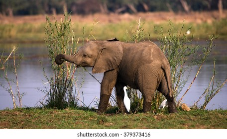 Baby elephant standing in the grass near the river. Zambia. Lower Zambezi National Park. Zambezi River. An excellent illustration.