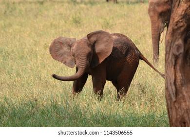 Baby elephant in Tarangire National Park