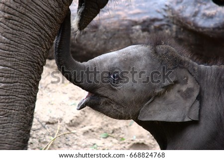 Baby elephant touching his mother with his trunk