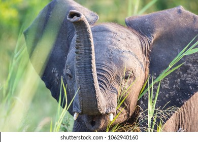 Baby Elephant Trunk Up