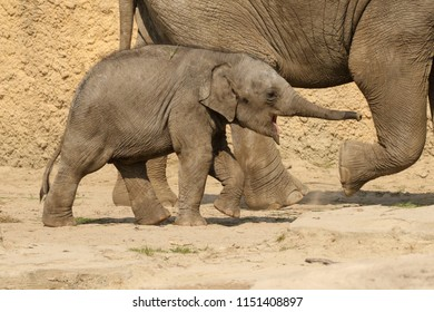 Baby elephant with its trunk pointing out