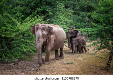 Baby elephant walking with the family through jungle.