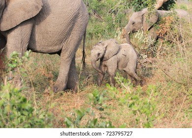 Baby elephant in the wild following her mother