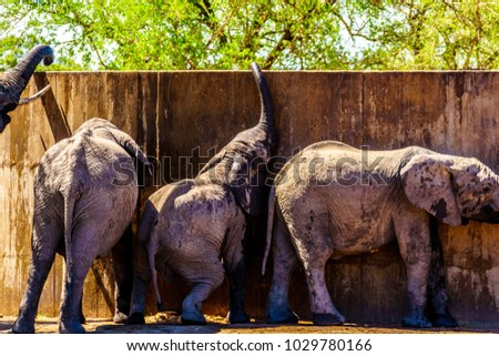 Baby Elephants at Olifants Drink Gat trying to suck water from watering hole storage tank in Kruger National Park in South Africa