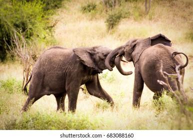Baby elephants playing in field