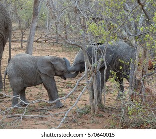 Baby elephants playing in a funny way in the Savanna South Africa
