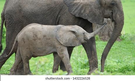 Baby Elephants Serengeti national park  Tanzania 12 13 2018