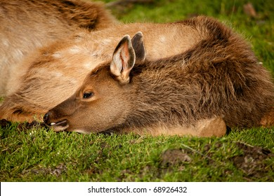 A baby elk (called a calf) rests on the grass by its mother.