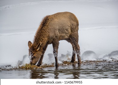 Baby elk searches for food along river edge in winter in Yellows
