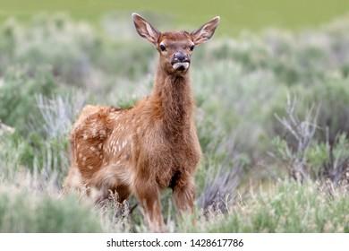 Baby elk with spots posing