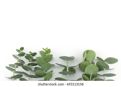 Baby eucalyptus leaves on white background with copy space