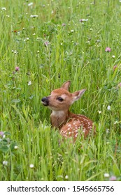 Baby Fawn Resting in a Wildflower Meadow
