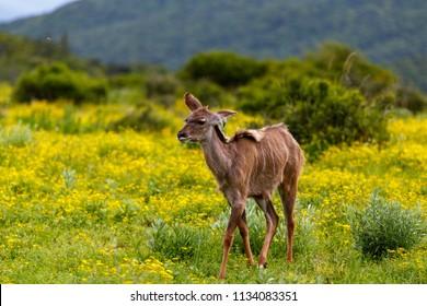 Baby Female kudu walking between the daisy flowers in the field
