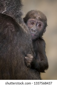 Baby female western lowland gorilla against mother