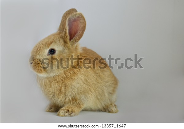 Baby Flemish Giant Bunny Rabbit On Stock Photo Edit Now