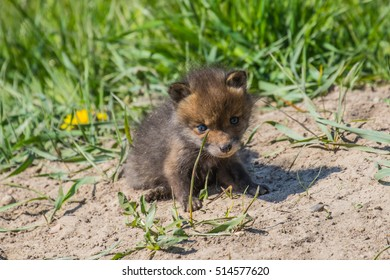 Baby fox playing in grass