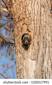 Baby Fox squirrel kit Sciurus niger peers over the top of its mother in the nest made from the hole in a tree in Naples, Florida.