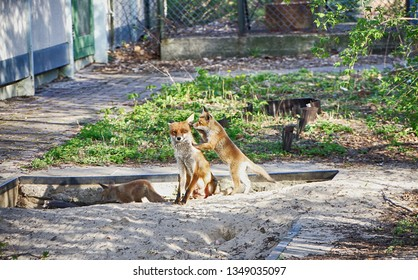 Baby foxes and mother in springtime in Berlin