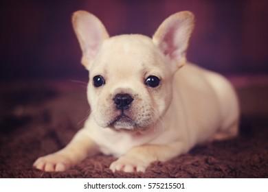 baby french bulldog puppy