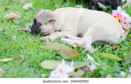 Baby French bulldog puppy. Dog sleep on the grass field, french bulldog relax in summer day