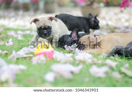Baby French Bulldog Puppy Dog On Stock Photo Edit Now 1046343901