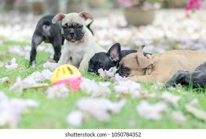 Baby French Bulldog Puppy Dog On Stock Photo Edit Now 1046343901