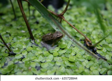 Baby frog resting in the duckweed in an English garden pond