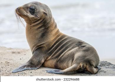 Baby fur seal, Galapagos islands
