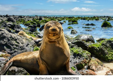 Baby fur seal at Mann beach, San Cristobal island, Ecuador