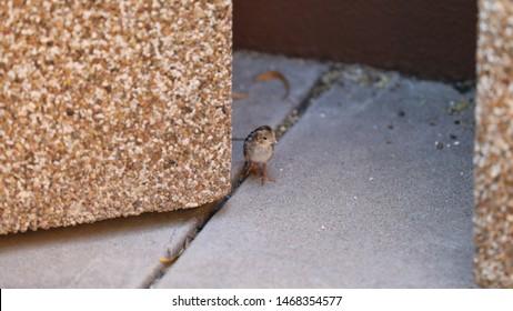 Baby Gambel's Quail Chick in Arizona