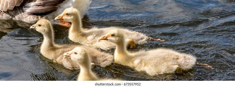 baby geese, goslings