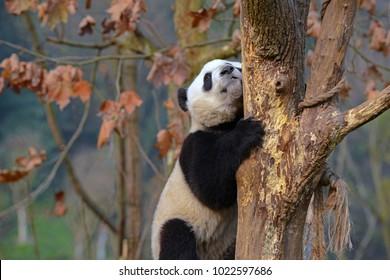 Baby Giant Panda near Chengdu, Sichuan Province, China