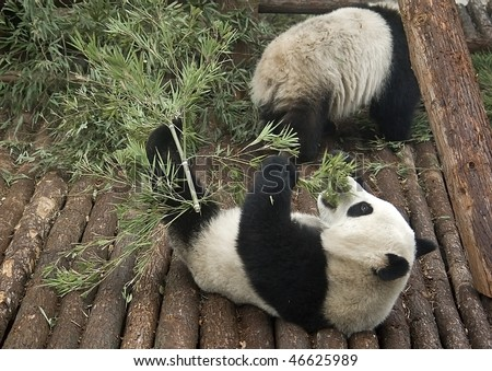 baby giant pandas eating bamboo shanghai stock photo edit now