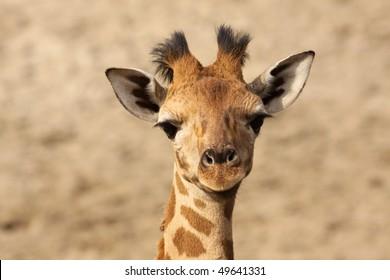Baby giraffe looking at you